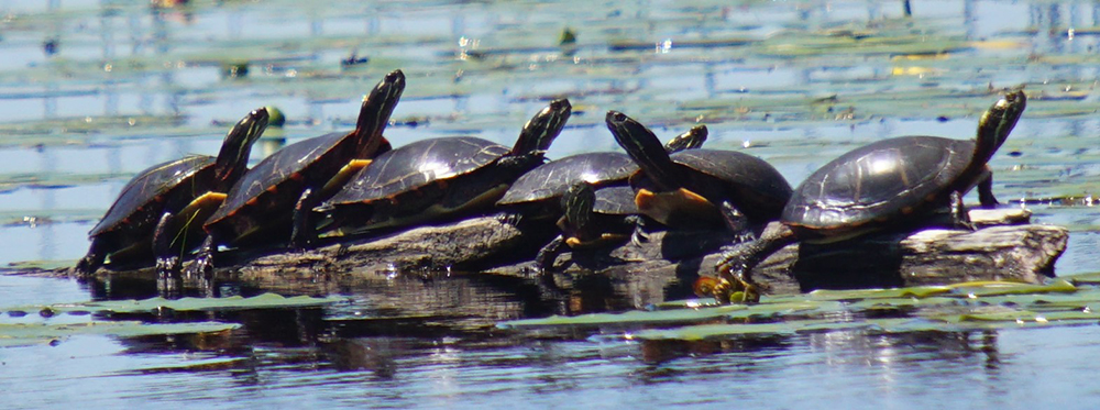 GaMidland- painted-turtles-jw .jpg